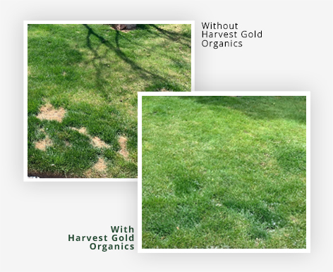 """Amazing Results """"We have these bald spots that have been very irritating and I've tried everything. Then I tried Harvest Gold Organics and it filled in beautifully. The yard is gorgeous."""" Joe F. Colorado"""