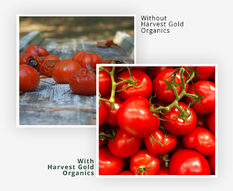 """Helps Boost Yields """"The Harvest Gold Organics plants towered over the other plants, the talks were stronger, and I did not have to stake the plants. The Harvest Gold Organics plants produced more tomatoes, the fruit had the best flavor and the peels were thin and easy to remove."""" Valerie B.- Tomato GrowerFlorida"""