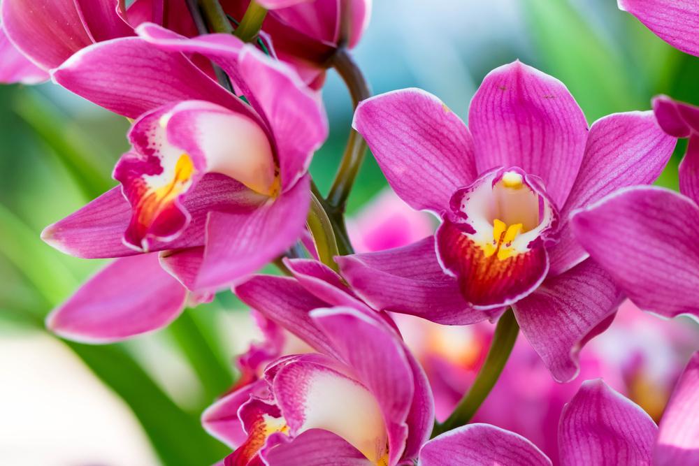 Orchids-close-up-at-Royal-Rajchapuak-Park-2017-Chiangmai-Thailand